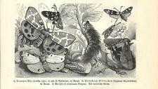 Stampa antica FARFALLE Arctia caja e altre BUTTERFLIES 1891 Old antique print