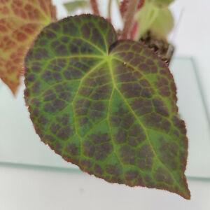 Begonia rockii- Begonie