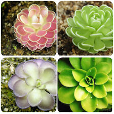 10 Pinguicula Butterwort Flower Seeds Rare Bonsai Plants in Home Garden Potted