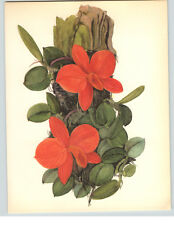 1922 Color Book Plate Framable Orchid Images Sophronitis coccinea Red Orange