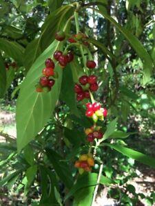 "15 Psychotria Viridis Seeds. (Chakruna, Ayahuasca) ""harvested 2021"""