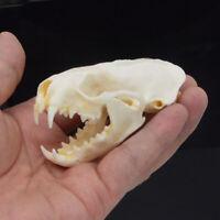 1pcs Real mink skulls, fine animal specimens, skull gifts skulls &010