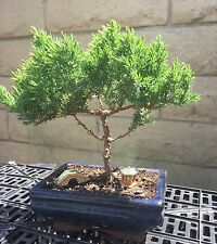 Japanese Juniper Bonsai Tree w/ 2 Ceramic Decorations - Indoor/Outdoor Plant