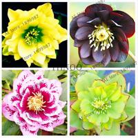 100 PCS Seeds Helleborus Plants Garden Flowers Bonsai Desert Rose Free Shipping