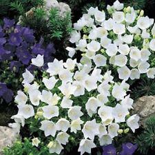 Campanula Canterbury Seeds Bells White 250 FLOWER SEEDS