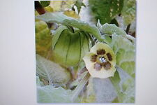 10 Samen Ananaskirsche,Physalis pruinosa, # 132