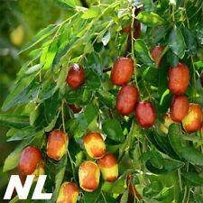 5Pcs Jujube Tree Seeds Sweet Ziziphus Fertile Plant Exotic Organic Home Garden