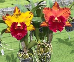 """Rlc Hey Song 'Amazing Thailand' 4"""" NOT YET Bloom Size (15)"""