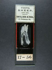 """Antique Microscope Slide by Smith, Beck & Beck, L.S. """"Tooth of Sheep""""."""