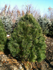 Eastern White Pine 4' to 4.5' tall