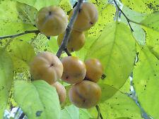 15 AMERICAN PERSIMMON TREE SEEDS - Diospyros virginiana