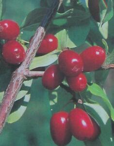 Cornus mas - Kornelkirsche - winterharte Pflanze 30-50cm - essbare Früchte