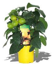 Lemon Tree Seeds- MEYER LEMON - MEDICINAL BENEFITS -Helps Weight Loss - 10 Seeds