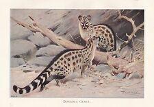 c1914 NATURAL HISTORY PRINT ~ DONGOLA GENET ~ LYDEKKER
