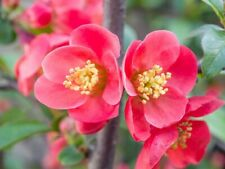ORGANIC JAPANESE QUINCE TREE SEEDS (Chaenomeles japonica) Bonsai From Canada