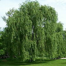 "Weeping Willow Tree (One) 18"" - 20""  Salix, babylonica Privacy Swaying"