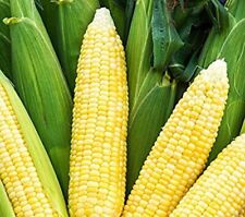 Bodacious Sweet Corn Seeds