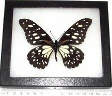 REAL FRAMED BUTTERFLY PAPILIO REX AFRICA