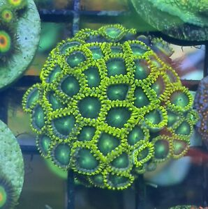 Radioactive Dragon Eyes Zoas ~ Live Coral Frag. Zoanthids. WYSIWYG