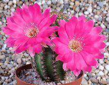 Lobivia winteriana, echinopsis exotic flowering cactus cacti rare seed 50 Seeds