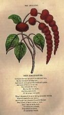 Parlor Annual Hand-Colored Woodcut -c1850- THE AMARANTEL