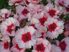 Dianthus Super Parfait Stawberry Seed Free Flowering Bedder Very Showy