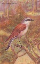 BIRDS : Red-Backed Shrike-GEORGE RANKIN-SALMON