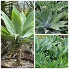 10 semi di agave attenuata , piante succulente, piante grasse,seed succulents