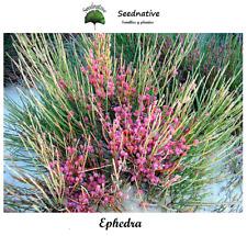 Efedra - Ephedra fragilis - 50 semillas - Seeds