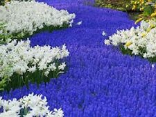 Hyacinth, Grape FLOWERING  Bulbs=6+ SPRING Planting Blue Flowers