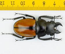 LUCANIDAE - Stag Beetle - Odontolabis gazella (52mm) - MALAYSIA - 5696