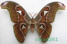 Attacus atlas (Linnaeus 1758) male ex. pupa Thailand 163mm79 NICE!!!