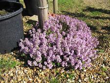Echter Thymian - 2.500 Samen , Thymus Vulgaris  Gewürz ,  Heilpflanze
