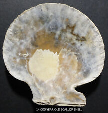 14,000 YEAR OLD (carbon dated) SCALLOP SHELL LAKE FIND 300' above sea level