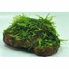 *BUY 2 GET 1 FREE* Willow Moss On Lava Rock Live Aquarium Plant Java Moss ✅