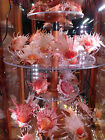 Shells Conch Fish Floats Coral Bursa Abalone DISPLAY CASE REVOLVES DUST PROOF