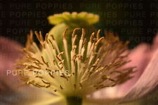 PAPAVER SOMNIFERUM JUMBO TURKISH OVAL POPPY SEEDS - BIG FRIENDLY GIANTS ! VIABLE