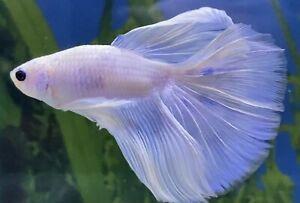 Male White Blue Halfmoon Betta