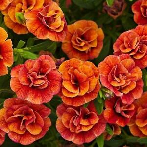 Calibrachoa Trailing Mini Petunia 'Double Orange' Plug Plants Pack x6