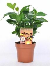Coffee Arabica Plant in 12 cm pot. Grow your own Coffee!