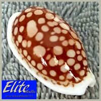 GIANT! Cypraea Cribraria #16 36.1mm RARE NEAR-GEM BEAUTY from the Philippines