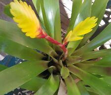 Bromeliad   Vriezia Sharlot Yellow flower  PUP