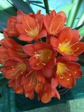 10 x Clivia Miniata ORANGE 1 Year Old Seedlings. UK National Collection holders
