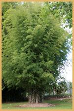 Thyrsostachys siamensis. 20 seeds. Clumping bamboo. Very rare. Medium sized.