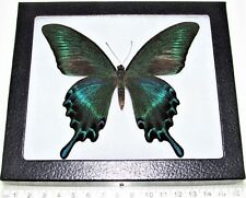 REAL FRAMED BUTTERFLY BLUE GREEN PAPILIO MAACKI SUMMER FORM