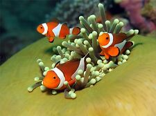 CLOWN ANEMONE FISH MARINE UNDER WATER SEA ART PRINT POSTER PICTURE BMP991A