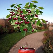 20Pcs Palatable Cherry Seeds Fruit Organic Fruit Seed Bonsai Tree Home Garden #