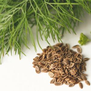 Anethum graveolens 'Diana' (Herb Dill) 25 to 750 ORGANIC Plant Seeds - Garden UK