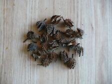 American Beech   Fagus grandifolia   25 Pods