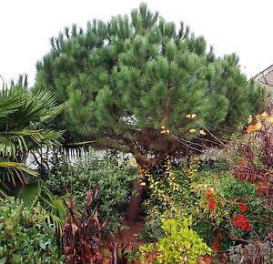 Pinus pinea Pinie Schirm Kiefer winterhart 43144592774